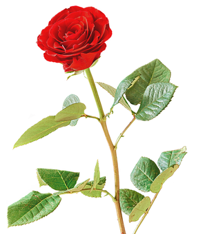 Rose, Red, Red Rose, Blossom, Bloom, Isolated