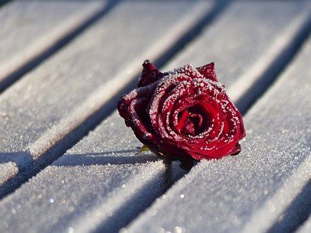 Winter, Rose, Flower, Bud, Rosenblüten Frozen, Close