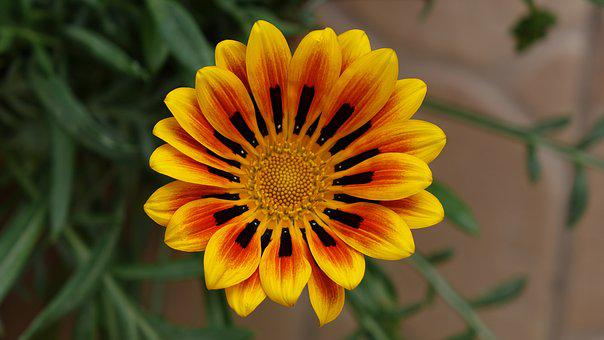 Gazania, Awesome, Flower, Blooming, Blossom, Colorful