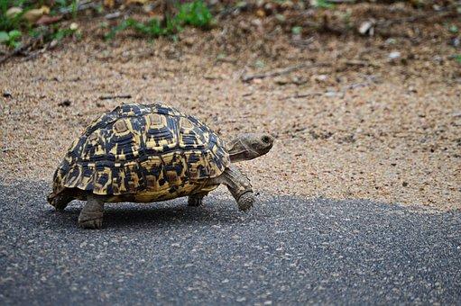 Leopard Tortoise, Nature, Wildlife, Animals, Fauna