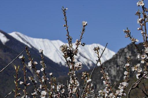 Almond Tree, Flowers, Snow, Mountain