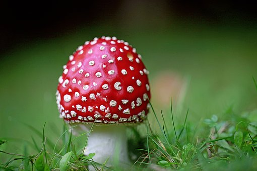Fly Agaric, Points, Red, Forest
