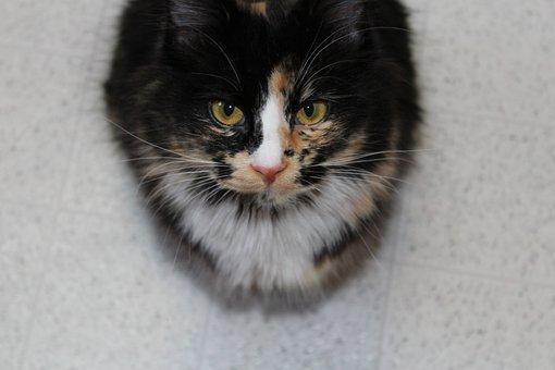 Kitten, Cat, Calico, Domestic, Feline, Fur, Cute