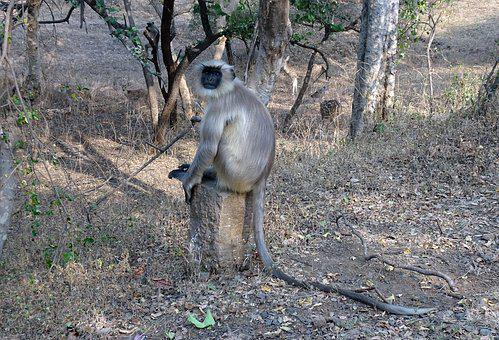 Monkey, Langur, Animal, Gray Langur, Hanuman Langur