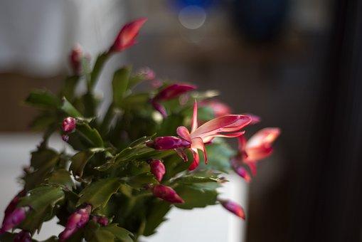 Cactus, Julkaktus, Green, Plant, Flowers, Autumn