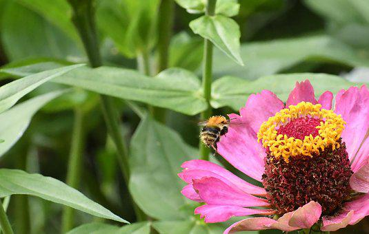 Insect, The Bees, Nature, Honey Bee, Plant Flower
