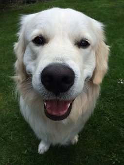 Animal, Dog, Pet, Cute, Face, Mammal, Golden Retriever