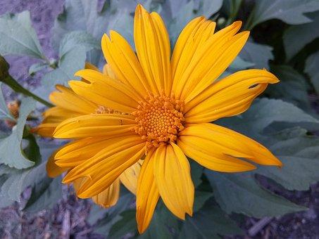 Mexican Sunflower, Garden Flower, Natural Flower