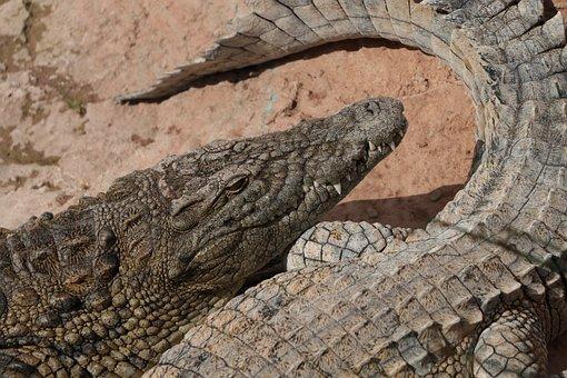 Africa, Morocco, Agadir, Crocodile, Travel, Nature