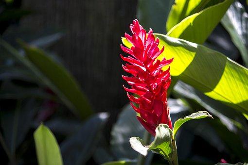 Alpínia Purpurata, Exotic Flower, Nature, Beauty