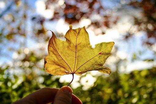 Leaf, Fall, Nature, Maple, Season, Outdoors, Flora