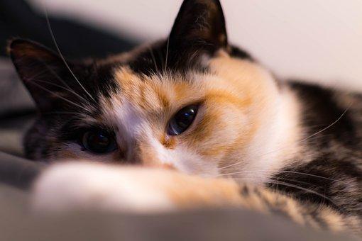 Cat, Feline, Animal, Pet, Domestic, Fur, Eyes, Adorable