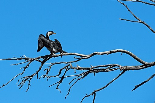 Pied Cormorant, Bird, Black, White, Nature, Fauna