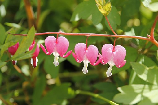 Pink, Green, Flower, Leaves, Foliage, Plant