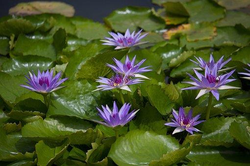 Water Lily, Plant, Pond, Aquatic Plant, Purple