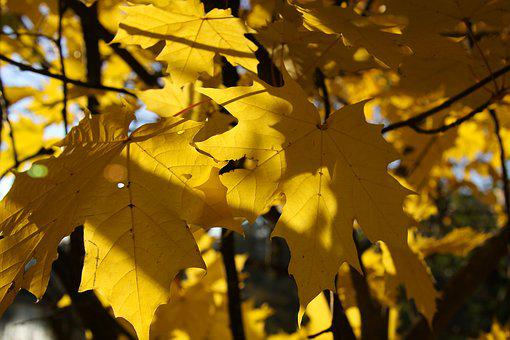 Autumn, Fall Foliage, Yellow, Sunny