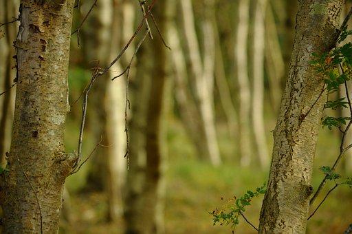 Trees, Birch, Autumn