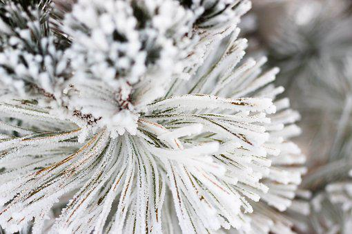 Snow, Pine, Xmas, Nature, Cold, Frost, Hoarfrost