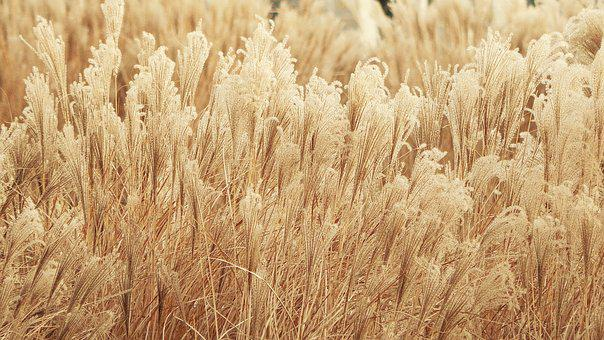 Vegetation, Wheat, Yellow, Nature, Ears, Agriculture