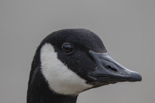Goose, Bird, Water Bird, Wild Goose, Canada Goose