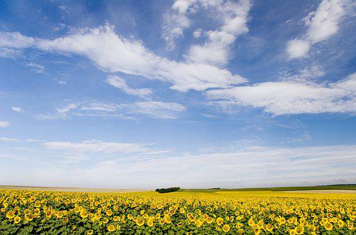Hungary, Sunflower, Blossom, Bloom, Nature