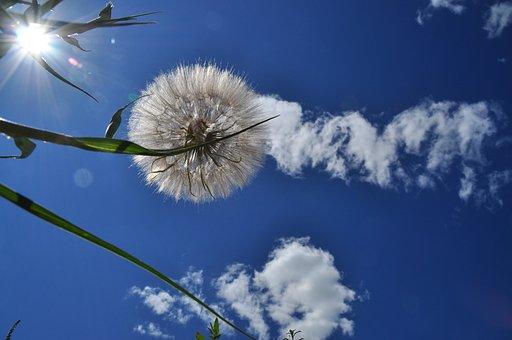 Sky, Cloud, Plant, Dandelion, Blue, Clouds Sky, Nature