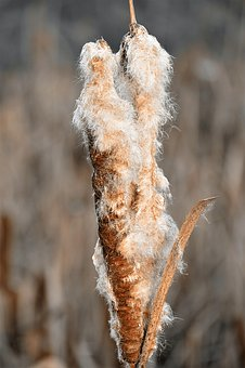 Cattail, Reed, Flying Seeds, Pond Plant