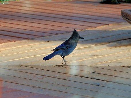 Jay, Bird, Wildlife, Stellar's Jay, Colorful, Feather