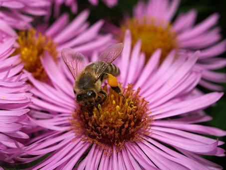 Bee, Insect, Honey, Collect, Pollen, Blossom, Bloom