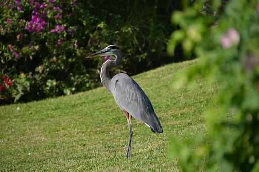 Bird, Nature, Heron