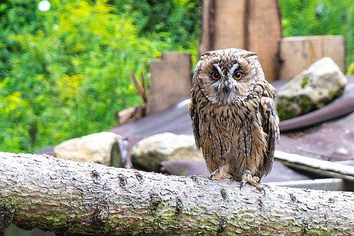 Eagle Owl, Owl, Bird, Bird Of Prey, Raptor, Nature