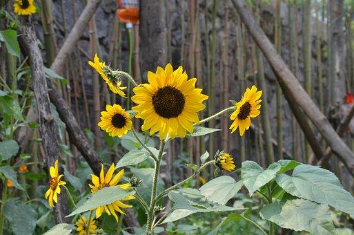 Sunflower, Petal, Chaoyang Flowers