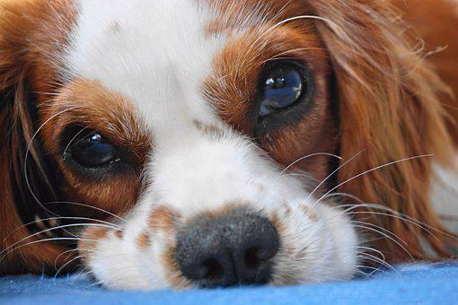 Dog, Cavalier King Charles, Cavalier, Small Dog