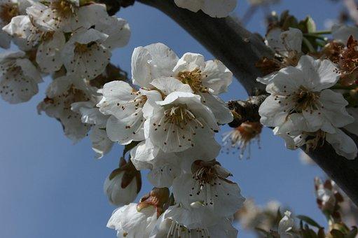 Almond Tree, Flowers, Flowery Branch, Flowering, Spring