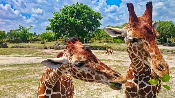 Zoo, Giraffe, Animal, Giraffe Head, Wild Animal, Africa