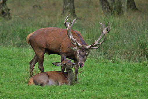 Deer, Deer Rutting, Wildlife, Love For Animals