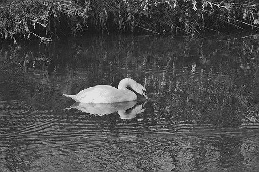 Swan, Water Bird, S W, White Swan, Wildlife Photography
