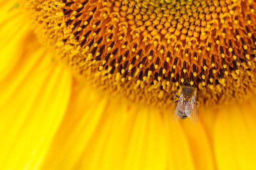 Sunflower, Sun Flower, Yellow, Sunflower Seeds