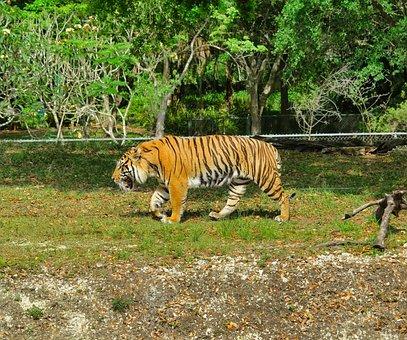 Zoo, Tiger, Feral Cat, Animal, Nature, Mammals