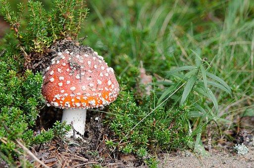 Muhamor, Mushroom, Basket, Autumn, Edible Mushrooms
