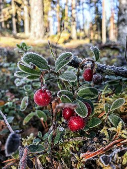 Cowberry, Lingonberry Twig, Plant, Berry, Autumn, Red