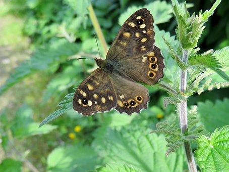 Nature, Butterflies, Brown