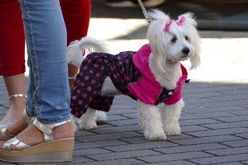 Dog, Poodle, Schoothond, Dameshond, Jacket, Cover