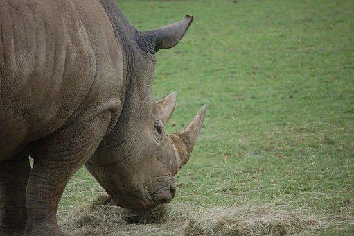 Rhinoceros, Rhino, Eating, Animal