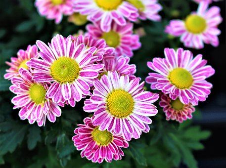 Flowers, Chrysanthemum, Flower, Plant, Garden