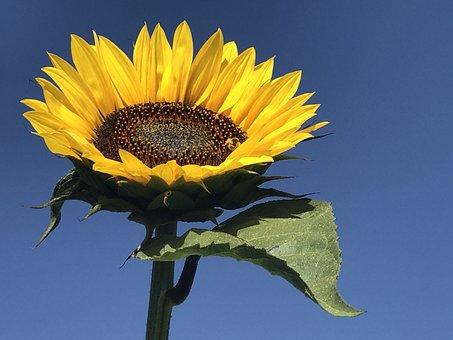 Sunflower, Flower, Sunflowers, Flowers, Nature
