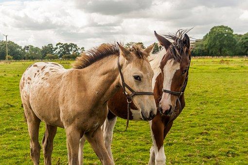 Foals, Horses, Appaloosa, Fillies, Equine, Young, Farm