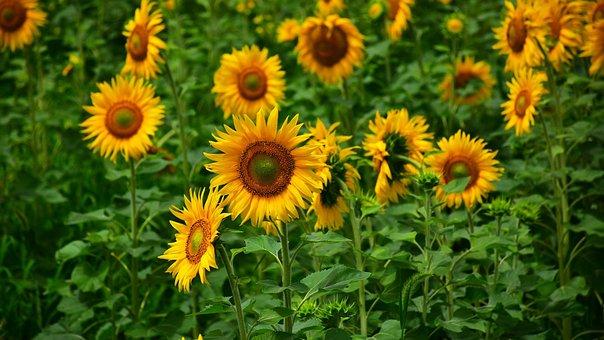 Sunflower, Summer, Healthy