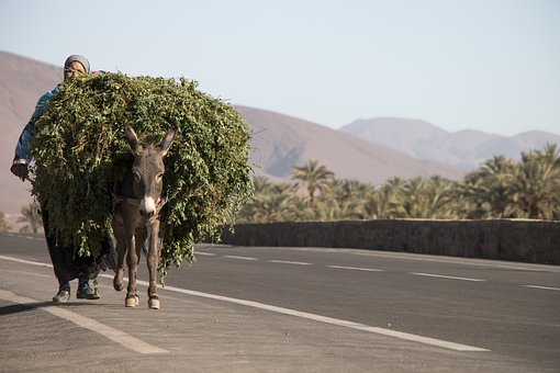 Load, Africa, Morocco, Woman, Donkey, Path, Palm Trees