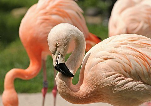 Flamingo, Pink, Pink Flamingo, Phoenicopteridae